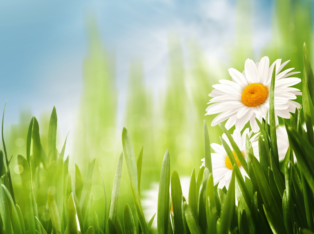 Daisy flowers on the meadow, seasonal backgrounds for your design